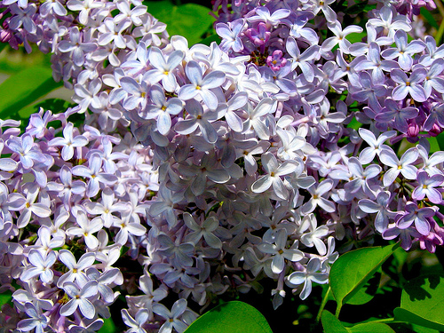 Bigelow Tea and lilacs